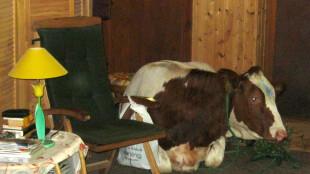 Krowa wtargnęła na niemiecki salon