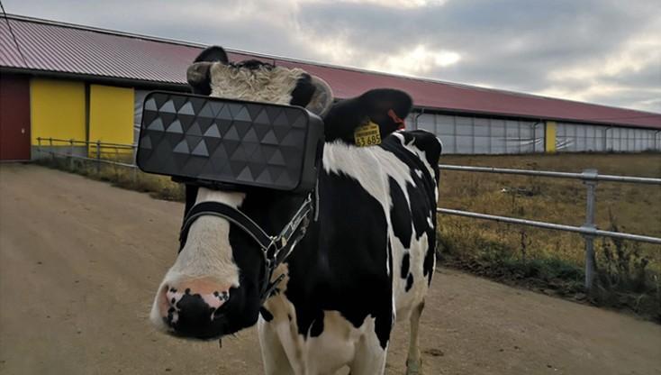 Krowy będą mogły
