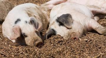"""<a href=""""https://www.polsatnews.pl/wiadomosc/2020-10-18/koronawirus-atakujacy-swinie-moze-namnazac-sie-w-ludzkich-komorkach/"""">Koronawirus atakujący świnie może namnażać się w ludzkich komórkach</a> thumbnail  Zakażony koronawirusem poseł Jerzy Polaczek apeluje o opamiętanie 3wxxjbm61qq79ti4fppzd75954n58dgh"""