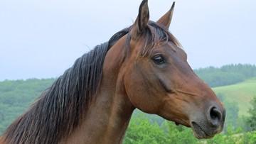 Koń wart 440 tys. zł odnaleziony martwy. Mógł zostać zastrzelony