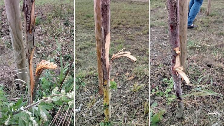 Łamał i ciął. Uszkodził 450 drzew przy trasie S11 na obwodnicy Jarocina