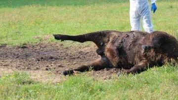 Żubr z odciętą głową w lesie w okolicy Dąbrówna