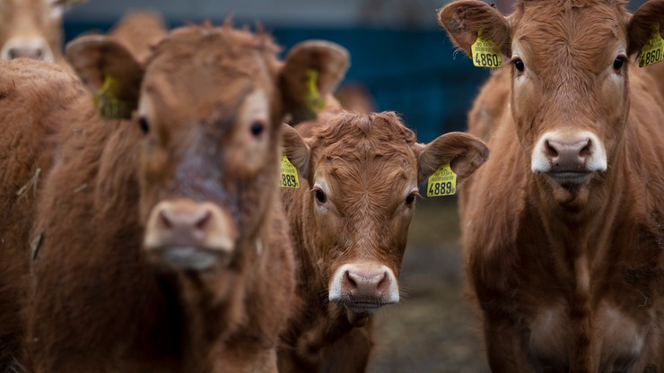 """Branża mięsna obawia się zmian dotyczących uboju rytualnego. """"Ekonomicznie szkodliwe"""""""
