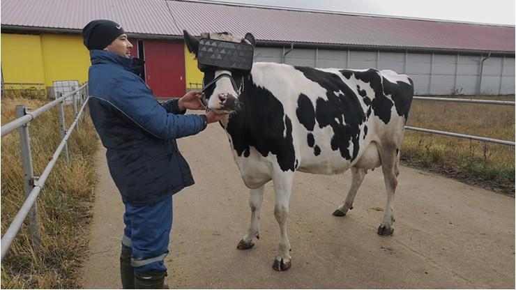 """Krowy w okularach VR. Dzięki nim """"wybiegają"""" na letnią łąkę i dają więcej mleka"""