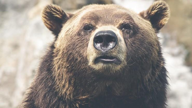W Tatrach budzą się niedźwiedzie. Miesiąc wcześniej niż zwykle