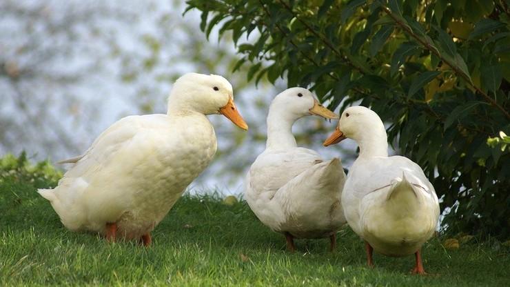 Zagłodził prawie 4 tys. kaczek. 40-latek trafił do aresztu