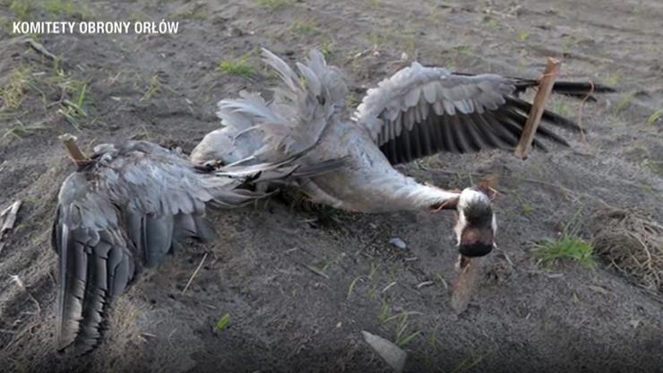 Bestialsko ukrzyżował żurawia. Chciał odstraszyć inne ptaki