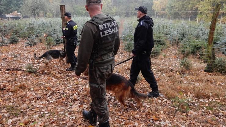 Patrole wyruszyły do lasów. Mają przed świętami chronić jodły przed ogołoceniem z gałęzi
