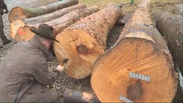 Trwa sprzedaż luksusowego drewna z Lasów Państwowych. Trafi m.in. do ekskluzywnych samochodów