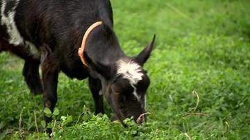 Koza z Gocławia zjadła fryzjerkom kwiaty. Wracała z punktu Lotto