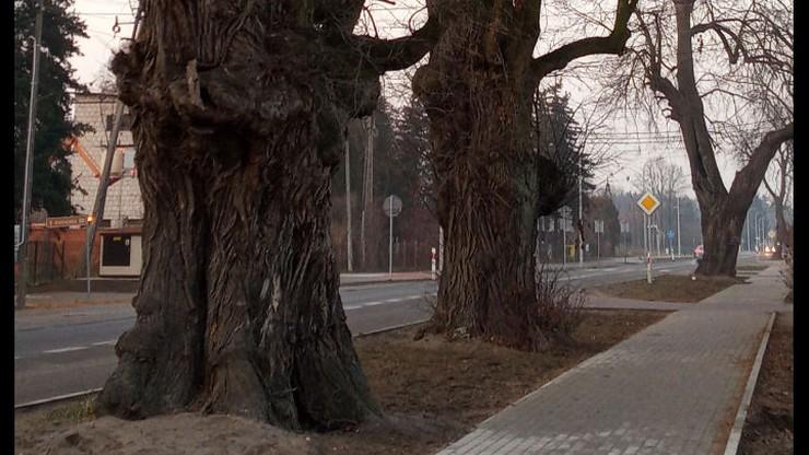 Władze Prażmowa chcą wyciąć kilkadziesiąt drzew, w tym pomniki przyrody. Mieszkańcy protestują