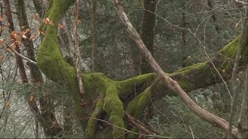 Niezwykłe drzewa, wyglądem przypominają formy jak z bajek