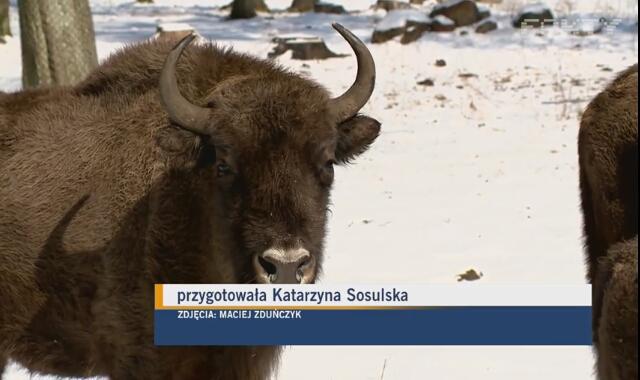 Tajemnice żubrów i innych zwierząt w Białowieskim Parku Narodowym (materiał archiwalny)
